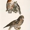 25, 26. The Little Screech Owl (Bubo asio). 27. The Short-eared Owl (Otus palustris).