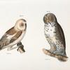 28. The American Barn Owl (Strix pratincola). 29. The Great Gray Owl (Syrnium cinereum).