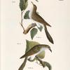 30.The Yellow-billed Cuckoo (Coccyzus americanus). 31. The Black-billed Cuckoo (Coccyzus erythrophthalmus).