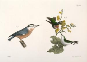 87. The Red-throated Hummingbird, male and female (Trochilus colubris). 88. The Red-bellied Nuthatch (Sitta canadensis).