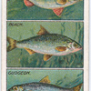 How to Distinguish Different Kinds of Fishes. - 3.