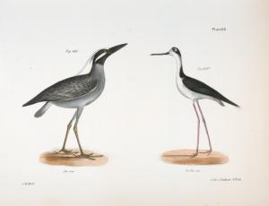 199. The Yellow-crowned Night Heron (Ardea violacea). 200. The Lawyer (Himantopus nigricollis).