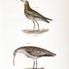 213. The Curlew Sandpiper (Tringa subarquata). 214. The Small Esquimaux Curlew (Numenius borealis).