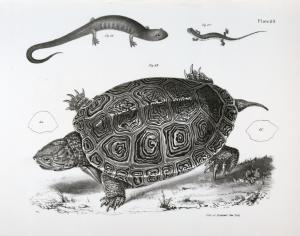 63. The Smooth Terrapin (Emys terrapin). 64. Outline of the last vertebral plate. 65. [Outline of the last vertebral plate] of E. palustris. 66. The Granulated Salamander (Salamandra granulata). 67. The Striped-back Salamander (Salamandra bilineata).