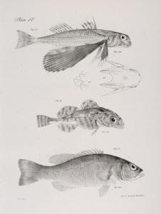 46. The Sea Swallow (Dactylopterus volitans). Scales and head of the same magnified. 47. The Smooth-browned Bullhead (Cottus mitchilli). 48. The Obscure Fresh-water Bass (Centrarchus obscurus).