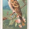 Tree Sparrow.