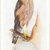 Sparrow hawk.