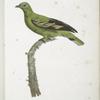 [Les Colombars] Colombar Unicolor  (Columba Psittacea).