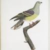 [Les Colombars] Colombar Wallia, mâle (Columba Abyssinica, mas.)