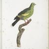 [Les Colombars] Colombar Jojoo, femelle (Columba Vernans, femina).