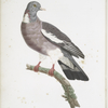 [Les Colombes] Colombe Ramier (Columba Palumbus).
