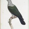 [Les Colombes] Colombe Muscadivore, mâle (Columba Oenea)