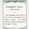 Common teal, Anas crecca.