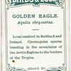 Golden eagle, Aquila chrysactus.