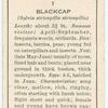 Blackcap (male).