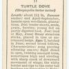 Turtle dove (female).
