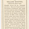 Yellow wagtail (male).