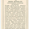 Reed warbler (female).