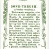 Song-Thrush.