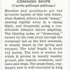 Common snipe.