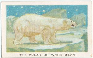 The polar or white bear.