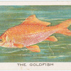 The goldfish.