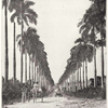 "Santa Cruz. "" King's road is lined from beginning to end with Royal palms. """
