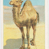 The Arabian camel.