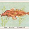 The armed gurnard.