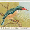 The black-cheeked kingfisher.