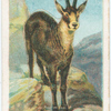 The chamois.
