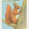 The common squirrel.