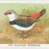 The diamond sparrow.