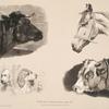 Nouvelles études d'animaux aux deux crayons, no. 2: [Têtes de taureau, de cheval, de chiens, de boeuf].