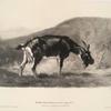 Nouvelles études d'animaux aux deux crayons, no. 11: [Une chèvre broutant].