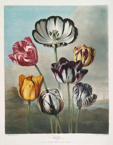 A group of tulips.