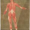 Cette figure représente les Muscles qui se trouvent à la face postérieure du corps.... Pl. 7