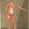 Cette planche représente les Muscles qui font situés immédiatement sous les précédens, Pl. 8