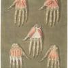 Elle présente en detail les muscles situés dans la main.... Pl. 13