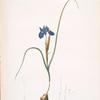 Iris Sisyrinchium