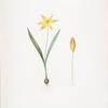 Tulipa Celsiana