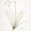 Allium straitum