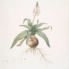 Lachenalia lanceaefolia