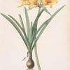 Amaryllis aurea