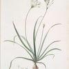 Allium fragrans