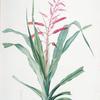 Pitcairnia bromeliaefolia