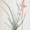 Pitcairnia angustifolia