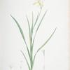 Ixia anemonae flora