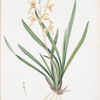 Epidendrum sinense