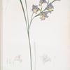 Gladiolus ringens